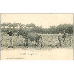 carte postale ancienne 40 LANDES. Binage du Maïs avec Attelage Mules vers 1900. Vieux métiers Campagne