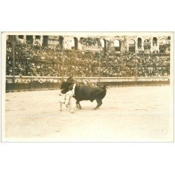 carte postale ancienne 13 ARLES. Photo Georges Cpa. La Corrida. Taureau