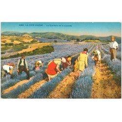carte postale ancienne 06 Côte d'Azur. Cueillette de la Lavande