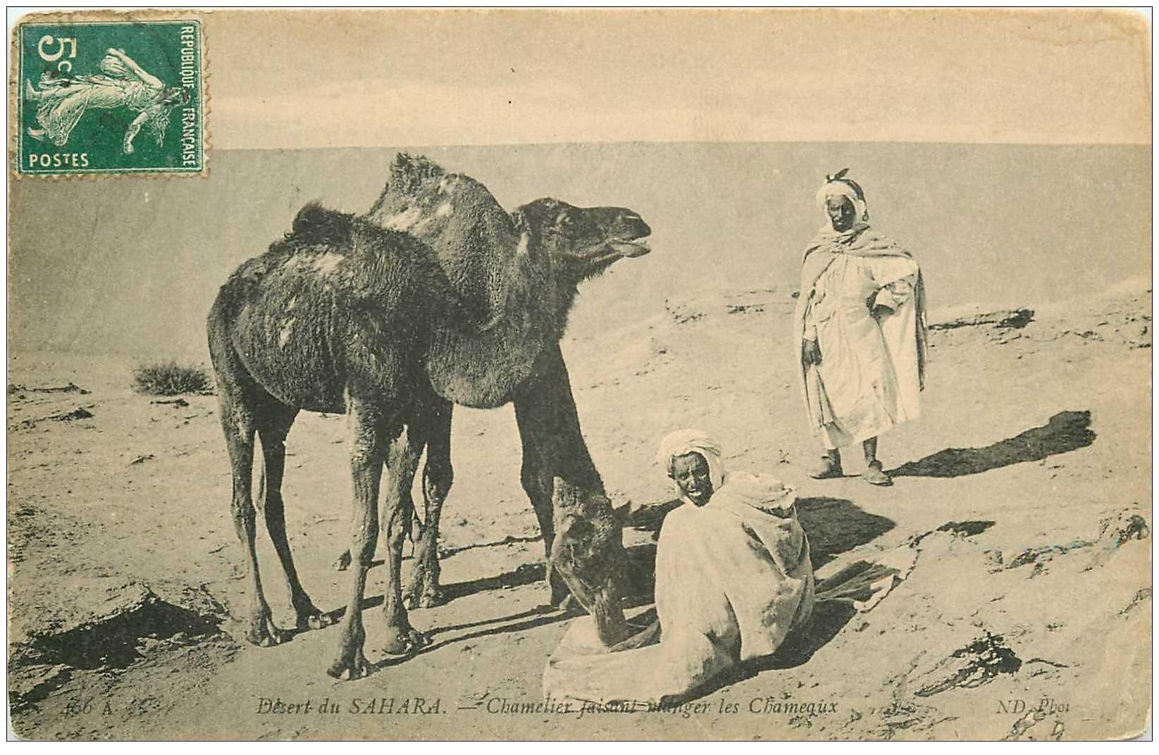 carte postale ancienne ALGERIE. Chameliers faisant manger les Chameaux 1908