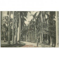 carte postale ancienne INDE. Cabbage Palms Feradeniya Gardens Kandy