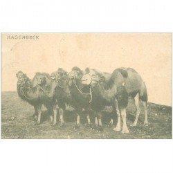 carte postale ancienne ANIMAUX. Chameaux et Dromadaires. Hagenbeck 1912