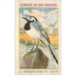 carte postale ancienne ANIMAUX. Oiseaux. Bergeronnette Grise. Carte image par Crème Eclipse cirage