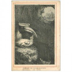 carte postale ancienne ANIMAUX. Oiseaux. Femelle du Calao Cloitrée. Carte image n°10