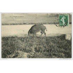 carte postale ancienne ANIMAUX. Sanglier, Marcassin en liberté 1908. Tampon Ravaud et Pepin 6 rue Scribe à Nantes