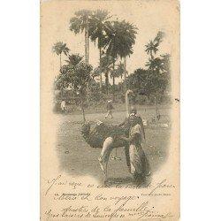 DAKAR. Un dressage d'Autruches difficile 1905