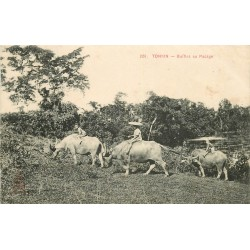 WW TONKIN. Buffles au Pacage 1912 Indochine Viêt-Nam