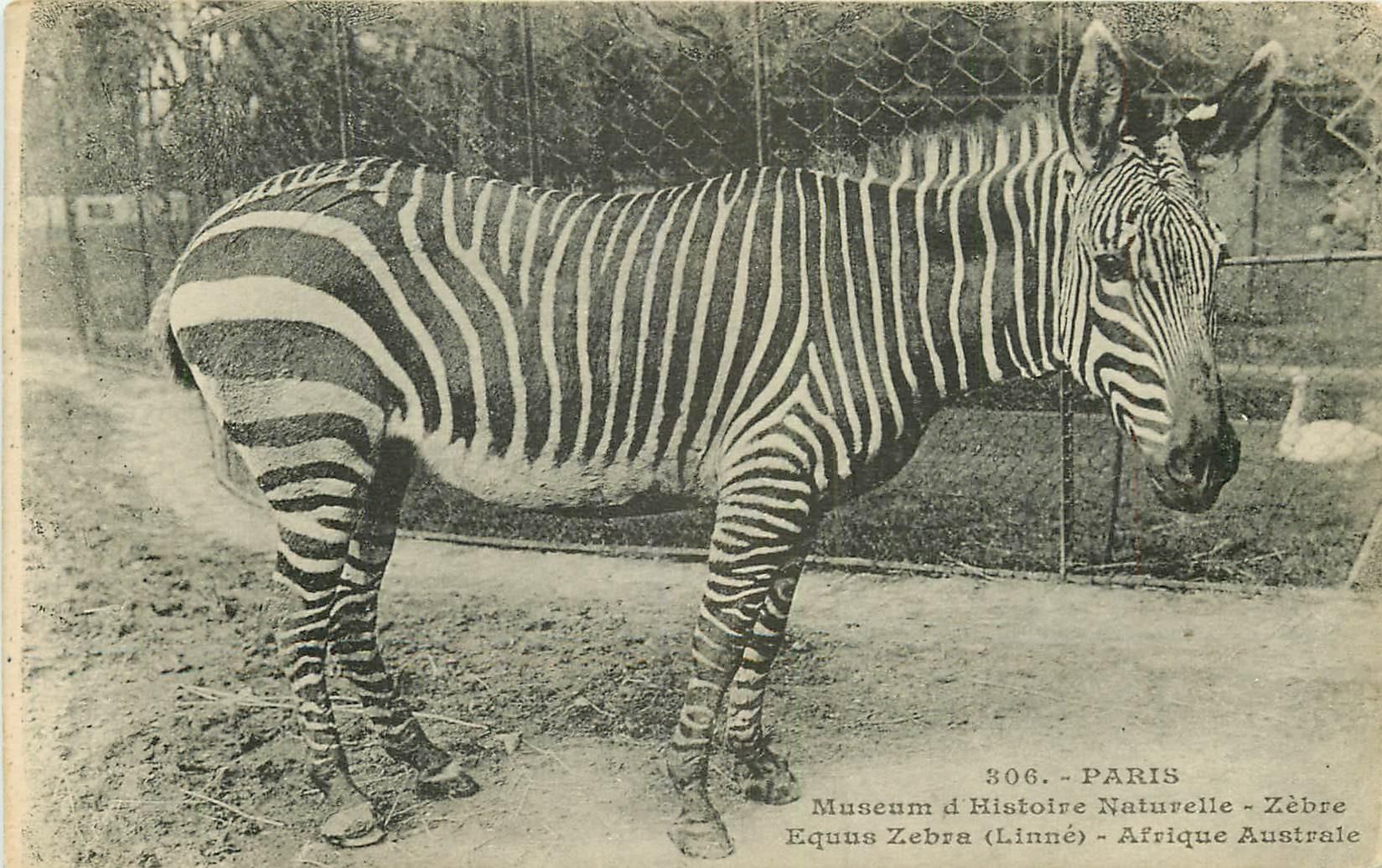 WW Animaux au Jardin des Plantes de Paris. Zèbre 1928