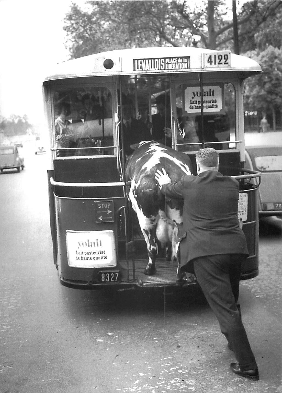 Cpsm Cpm Transport et humour. Un Homme poussant une vache dans un Bus